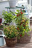 Capsicum annuum ( Paprika, Chili ), Lycopersicon ( Tomate )
