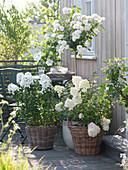 Weißer Balkon mit Rosa 'Bienenweide' ( Zwergrose ) auf Stamm