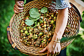 A basket of freshly picked hazelnuts