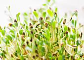Frische Alfalfasprossen (Close Up)