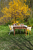 Table set for Easter breakfast in front of flowering forsythia in garden