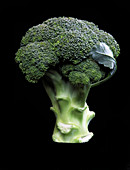 A head of broccoli against a black background