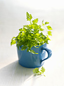 Fresh chervil in a blue mug