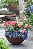 Rosa 'Firebird' ( Beetrose ) mit Campanula ( Glockenblumen ) und Nepeta
