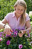 Frau schneidet verblühte Blüten von Dahlia ( Dahlie ) ab