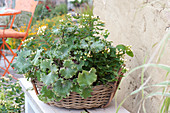 Farfugium 'Wavy Gravy' - Strukturpflanze - Trendblätter