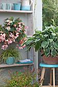 Begonia Summerwings 'Apricot' ( Begonie ), Hosta Hybrode 'Francee'