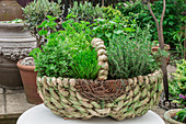Large green woven basket used as a container for fresh culinary herbs in a garden outside in summer