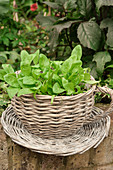 A wicker cup and saucer used for seedlings outside in summer