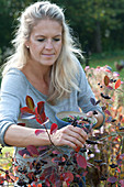 Frau pflückt Beeren von Aronia melanocarpa (Apfelbeere)