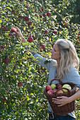Frau pflückt Malus (Äpfel)