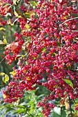 Früchte von Euonymus europaeus ( Pfaffenhütchen ) am Strauch
