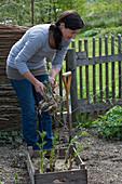 Ausgetriebene Dahlien ins Beet pflanzen