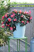 Begonia Iconia 'First Kiss' (Begonie) im emaillierten Eimer