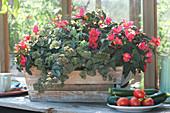 Begonia Iconia 'First Kiss' (Begonie) und Sedum 'Red Canyon'
