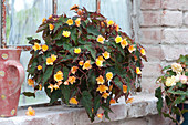 Begonia Iconia 'Lucky Strike' (Begonie) am Stallfenster