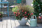 Begonia Iconia 'Miss Malibu' mit Wolfsmilch und Gras kombiniert