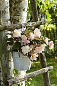 Begonia Iconia 'Miss Montreal' (Begonie) im Topf