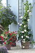 Kübelpflanzen Arrangement in weiß, rot und blau