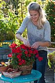 Frau entfernt verblühte Blüten von Geranie