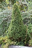 Picea glauca 'Conica' (Zuckerhutfichte) im Steintrog