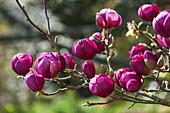 Magnolia x soulangiana 'Jurmag1' syn. 'Black Tulip' (Magnolie)