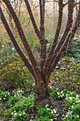 Prunus rufa (Himalaya-Kirsche) mit Primula (Primeln) im Beet