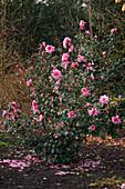 Camellia × williamsii 'Donation' (Kamelie)