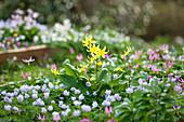 Gelber und pinker Hundszahn mit blauem Buschwindröschen im Beet