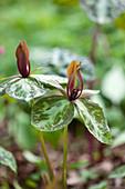 Trillium cuneatum (Dreiblatt, Waldlilie)