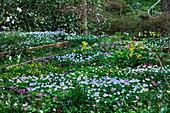 Frühlingsgarten mit Buschwindröschen und Hundszahn