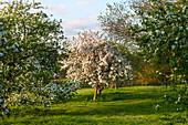 Blühender Apfelbaum, Malus x hartwegii 'Katherine' (Zierapfelbaum)