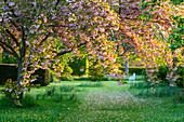 Blühende Zierkirsche im Park
