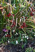 Schneeglöckchen, Lenzrose und Samenstände von Schwertlilie