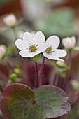 Hepatica henryi var. yamatutai (Leberblümchen)