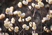 Edgeworthia chrysantha (Japanischer Papierbusch)