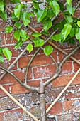 Pyrus communis 'Doyenne du Comice' (Birnbaum, Säulen-Birne) als Spalier-Obst rund gezogen