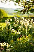 Allium 'Mount Everest' (Zierlauch)