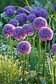 Allium 'Globemaster' (Zierlauch) im Frühsommer-Beet