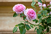 Rosa 'Charles Rennie Mackintosh' (Englische Rose, Strauchrose) von David Austin