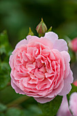 Rosa 'Strawberry Hill' (Englische Rose) von David Austin