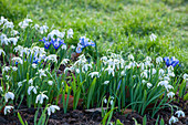 Schneeglöckchen (Galanthus nivalis) und Netziris (Iris reticulata) im Beet