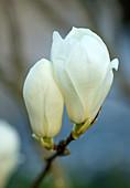 Blüten der Yulan-Magnolie (Magnolia denudata)