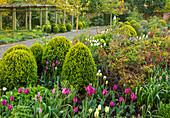 Parkanlage mit Buchs Kugeln (Buxus) und Tulpen (Tulipa) im Frühling