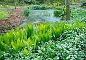 Kleiner Teich im Wald, Straußfarn (Matteuccia struthiopteris) und blühender Bärlauch (Allium ursinum)