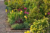 Beet mit Kronwicke 'Citrina' (Coronilla glauca) und Tulpen 'Negrita', 'Moonlight Girl' (Tulipa)