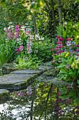 Etagen-Primeln (Primula candelabra) am Teich Ufer mit Trittsteinen