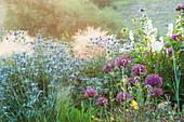 Trockenheit vertragendes Beet mit Mannstreu 'Picos Blue' (Eryngium bourgatii) und Zierlauch 'Firmament' (Allium)