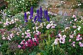 Sommer-Beet mit Rosen (Rosa), Rittersporn (Delphinium) und Bartfaden (Penstemon)