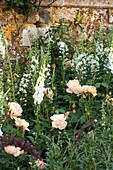 Rosen (Rosa), Fingerhut 'Snow Thimble' (Digitalis purpurea) und weißes Weidenröschen 'Album' (Epilobium angustifolium) vor Gartenmauer